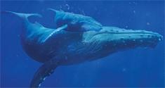 humpback whales news